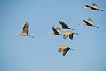 A flock of sandhill cranes fly across the sky in Nebraska.