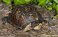 1002-0805  Male Eastern Box Turtle, Terrapene carolina © David Kuhn/Dwight Kuhn Photography.
