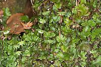 Echtes Brunnenlebermoos, Brunnen-Lebermoos, Lebermoos, Marchantia polymorpha, common liverwort, umbrella liverwort