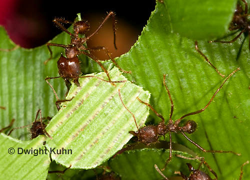 AN14-512z  Leafcutter Ants carrying leaves to nest, Atta mexicana