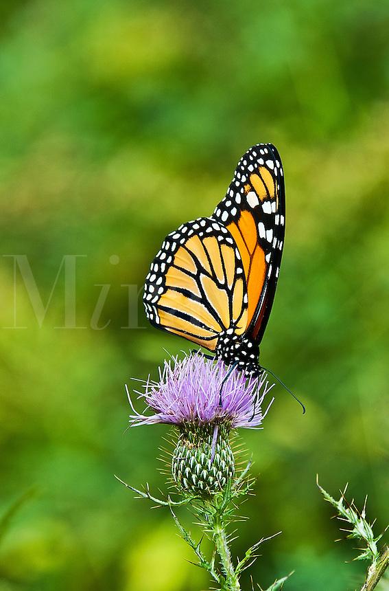 Butterfly on wildflower in meadow.