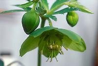 Helleborus torquatus flower against light background for cutout