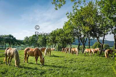 Germany; Free State of Thuringia, Meura: the Haflinger stud farm and horse ranch Meura | Deutschland, Freistaat Thueringen, Meura: das Haflinger Gestuet Meura - groesstes Haflingergestuet Europas