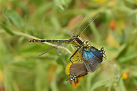 Plains Clubtail (Gomphus externus), adult feeding on Great Purple Hairstreak (Atlides halesus) butterfly, Hill Country, Central Texas, USA