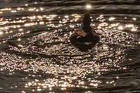 A duck stirs up the water creating sparkling reflections, expanding circles, and sending water drops onto its head and back.
