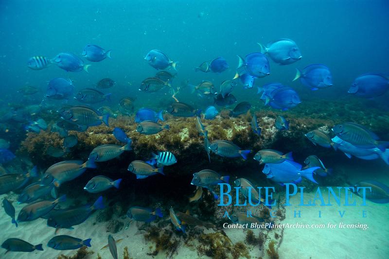 School of surgeonfishes, blue tangs, and sergeant majors, Acanthurus chirurgus, Acanthurus coeruleus and Abudefduf saxatilis, Fernando de Noronha, Brazil