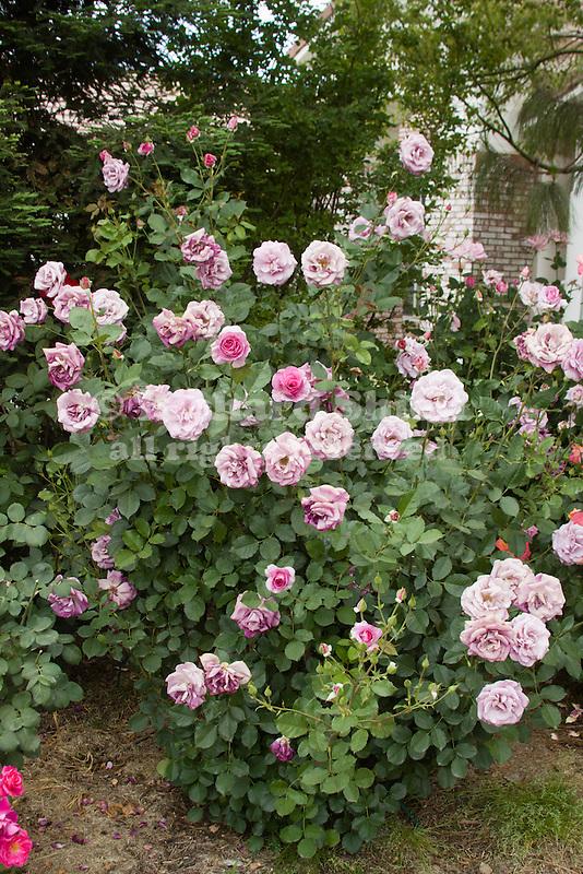 ROSA 'MELODEY PARFUMEE', GRANDIFLORA ROSE, BAKERSFIELD
