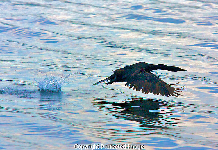 A cormorant prepares to take of by racing across the waters of Discovery Bay in Jefferson County, Washington.