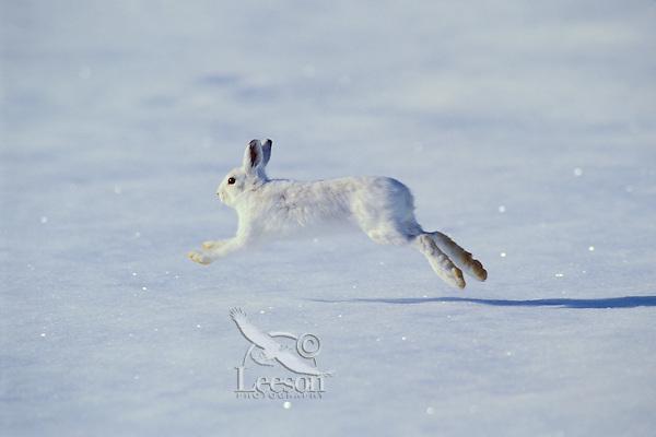 Snowshoe Hare or Varying hare (Lepus americanus) running across winter snow.  Montana.
