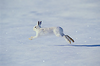 Snowshoe Hare or Varying hare (Lepus americanus) running across winter snow.  Montana.