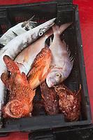 Europe/Provence-Alpes-Côte d'Azur/83/Var/Iles d'Hyères/Ile de Porquerolles: La pêche de Gérard Genta, pêcheur et restaurateur: Restaurant du Pêcheur - Hôtel Le Porquerollais