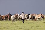 Kenya, Olare Motorogi Conservancy, Maasai cattle herds