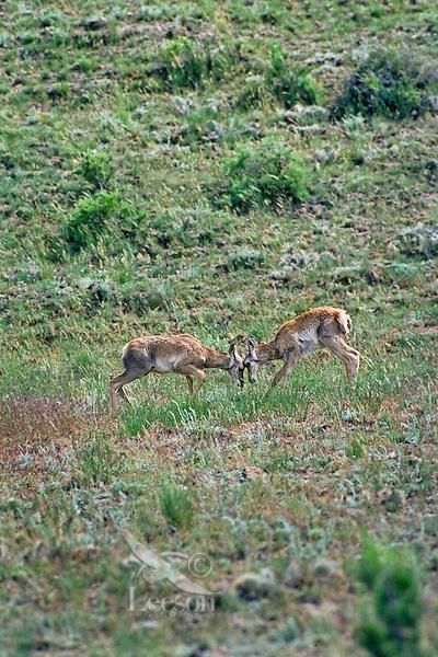 Young Pronghorn Antelope fawns playfully spar.  Western U.S., June.