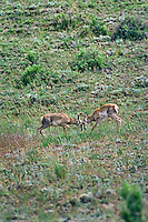 Young Pronghorn Antelope fawns playfully spar.  Western U.S., June.
