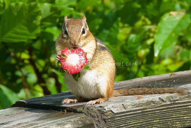 Chipmunk animal garden pest eating strawberry fruit