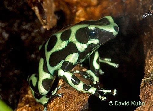 0930-07pp  Dendrobates auratus ñ Green and Black Arrow Frog ñ Green and Black Dart Frog  © David Kuhn/Dwight Kuhn Photography