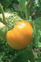 Tomato Persimmon yellow gold tomatoes growing on plant vine in garden