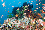 Anilao, Philippines;  a school of Scalefin Anthias (Pseudanthias squamipinnis) fish and a Moorish Idol (Zanclus cornutus) fish swimming over an underwater pinnacle covered in soft corals, sponges, crinoids and dark green Black Sun Coral (Tubastrea micrantha)
