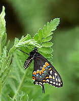 Palamedes Swallowtail (Papilio palamedes). Woodland Park Zoo, Seattle, WA