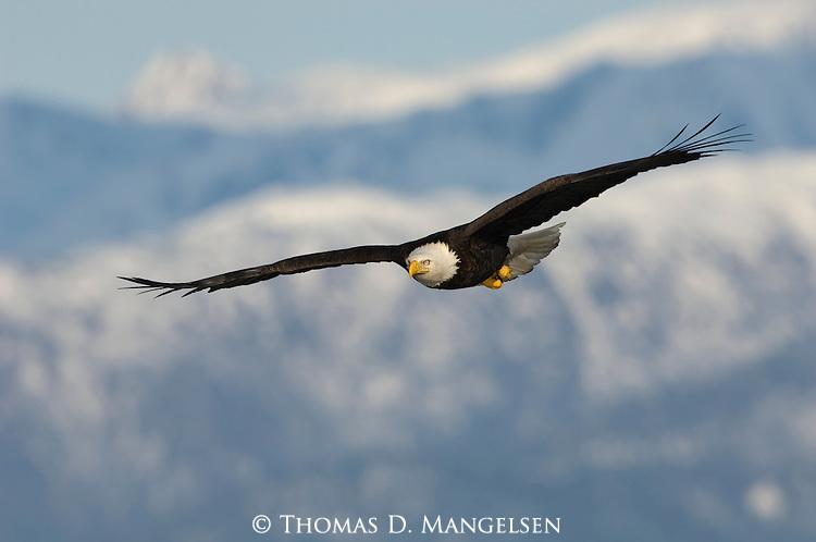 A bald eagle soaring through the sky in Homer, Alaska.