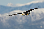 A bald eagle soaring through the sky in Homer, Alaska.