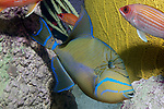 Queen triggerfish swiming right over reef.