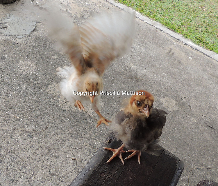 Rarotonga, Cook Islands - September 21, 2012:  A chick joins its companion on a park bench.