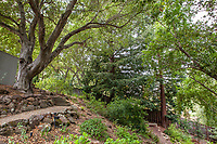 Quercus agrifolia, California live oak and Redwoods (Sequoia sempervirens) California native trees on slope in Katherine Greenberg backyard shade garden