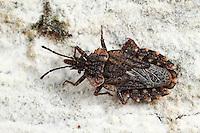 Rindenwanze, Aradus betulae, flat bug, Rindenwanzen, Aradidae, flat bugs
