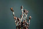 Indian Pipe, Monotropa uniflora, Corpse Plant, Ghost Plant