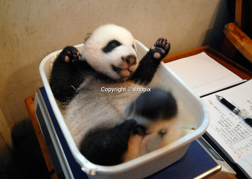 The smallest panda to survive known as Wu Shi Er Ke (which means 51 grams in Chinese) at one month and 19 days old gets weighted. Wu Shi Er Ke now weights just over 200 grams. The panda was born at the Chengdu Giant Panda Breeding and Research Institute in Sichuan Province, China. The Institute had a record of ten surviving births this year. Wu Shi Er Ke was born on 6th of August as a twin. Her sister weighted over double her weight and her mother called Qi Zheng was herself the first panda baby to survive an operation. (She had 7 stitches in her stomach after her mother rejected and attacked her just after birth 7 years ago)..25 Sep 2006