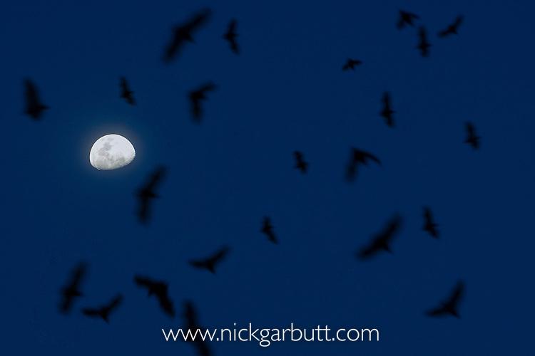 Straw-coloured Fruit Bats (Eidolon helvum) flying from roost at dusk by moonlight. Kasanka National Park, Zambia. November.