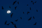 Straw-coloured Fruit Bats (Eidolon helvum) flying from roost at dusk by moonlight. Kasanka National Park, Zambia. November.