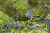 Silver-eye (Zosterops lateralis lateralis), adult in Queens Park, Invercargill, Southland, New Zealand.