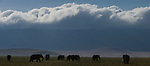 Herd of bull Elephants (Loxodonta africana) grazing early morning on the floor of the Ngorongoro Crater, Ngorongoro Conservation Area, Tanzania. March 2015.