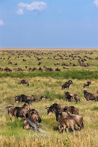 Common Wildebeest or Western White-bearded Wildebeest (Connochaetes taurinus), Serengeti National Park, Tanzania.