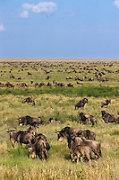 Common Wildebeest or Western White-bearded Wildebeest (Connochaetes taurinus), Serengeti National Park, Tanzania.