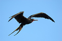 Flying Great Frigate male bird (Fregata minor), Ecuador, Galapagos Archipelago,