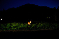 Illuminated by headlights, a deer stands in a farm field at night outside Victor, Montana, USA.