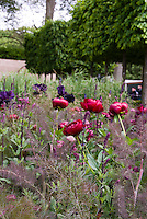Red Peonies Paeonia, Astrantia in bloom, irises flowers with purple bronze Fennel herb Foeniculeum in spring bloom flowers