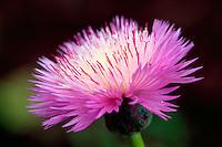 A pink Aster flower.