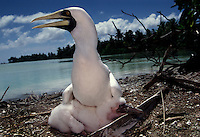 "A masked booby protects its chick. The largest purchase to date for the Nature Conservancy is the Palmyra an atoll situated about 300 miles north of the equator.  Palmyra has five times as many coral species as the Florida Keys and three times as many as Hawaii.  It is home to the world's largest invertebrate, the rare coconut crab, and a population of red-footed booby birds second only to that of the Galapagos.  It is the last marine wilderness area left in the U.S. tropics and is home to the last remaining stands of Pisonia grandis beach forest in the world.  Palmyra was a US Navy supply base in World War II, the site of a proposed nuclear waste dump, an unsuccessful coconut plantation and of various development schemes.  Palmyra is most famous for the 1974 slaying  of a married couple which became the subject of the best-selling book ""And the Sea Will Tell,"" by Vincent Bugliosi."