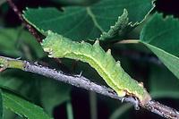 Grünes Blatt, Raupe, Geometra papilionaria, large emerald, caterpillar, La Grande nayade, Spanner, Geometridae, looper, loopers, geometer moths, geometer moth