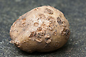 Potato common scab is caused by a bacteria found in most soils. It produces rough, brown, corky patches on the skin of potatoes.