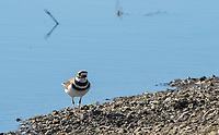Killdeer, Charadrius vociferus, at Colusa National Wildlife Refuge, California