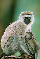 660370007 a wild female vervet monkey cercopithecus aethiops nurses her baby while sitting on a log in ngorogoro crater national park in tanzania
