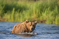 Brown bear, Brooks River, Katmai National Park, Alaska