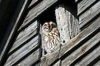 Waldkauz, siitzt an einem Schuppen, Stall, Strix aluco, Wald-Kauz, Kauz, Käuzchen, tawny owl, brown owl