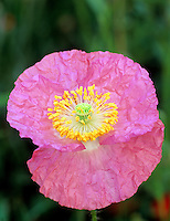 Pink poppy in garden at Summer Lake Inn, Oregon