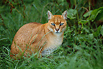 The African golden cat is native to west and central Africa, Africa